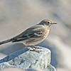 American pipit, Brier Island, Pond Cove beach, 17 Sep 2012