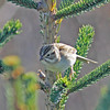 clay-colored sparrow Brier Island 22 Oct 2012
