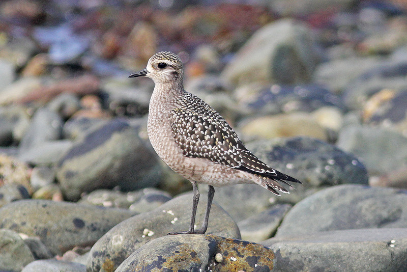 American golden plover, Hartlen Pt, 24 Sep 2012
