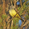 Western Kingbird at Pleasant Hill Cemetery in Sackville NS, 2 Dec 2011