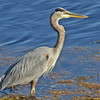 great blue heron at Squid Cove