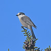 Gray jay on Brier Island, 25 Sep 2016
