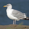 Adult herring gull, winter plumage