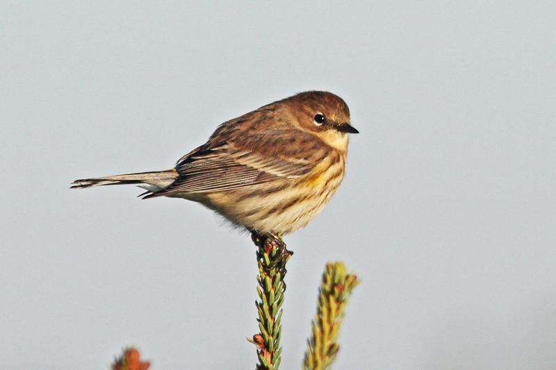 Yellow-rumped warbler, Myrtle race