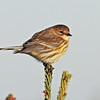 Yellow-rumped warbler, Myrtle race