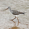 "Greater yellowlegs in Wolfville Harbour, NS, legs and bill ""muddy"", 19 Sep 2012"