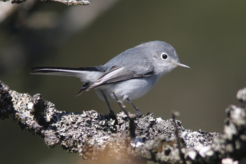 Blue-gray gnatcatcher, Seal Island, Sep 2008