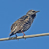 Fall  starling, Sep 2012 at Hartlen Pt