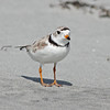 Piping plover at Cherry Hill Beach in 2010