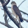 Sharp-shinned hawk, Brier Island, 2010