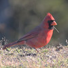 Northern cardinal, Seal Island, Sep 2008