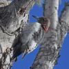 Red-headed woodpecker, juvenile, Bass River NS, 17 Jan 2017
