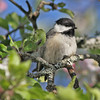 Black-capped chickadee in apple tree, May 2010, Brier Island
