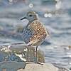 American golden plover, Hartlen Pt, around 12 Sep 2012, sidelit