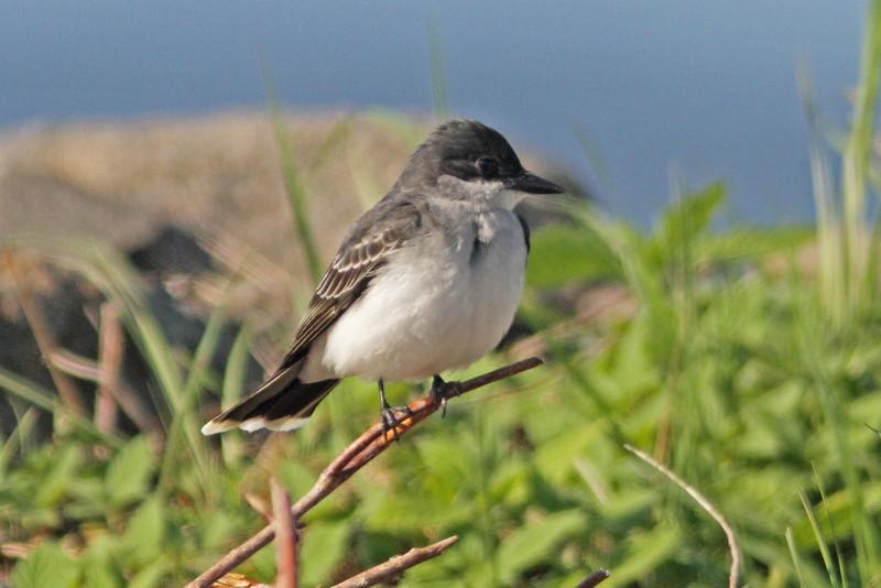 Eastern kingbird, Brier Island, 20 May 2012