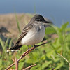 Eastern kingbird, Brier Island, 20 May 2012