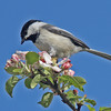 Black-capped chickadee in apple blossoms, Brier Island, May 2010