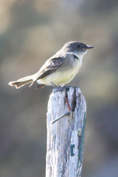 Eastern Phoebe, Seal Island, Sep 2008