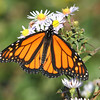 Monarch butterfly, Brier Island, 17 Sep 2012