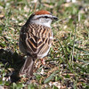 Chipping sparrow at Squid cove early May 2013