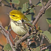 Black-throated green warbler, Brier Island, 17 Sep 2012