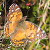 Painted lady, Seal Island, Sep 2008