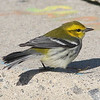 Black-throated green warbler, Seal Island, 2008