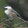 Black-capped chickadee, Brier Island, 17 Sep 2012