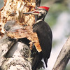 Feeding pileated woodpecker