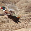 Male pheasant in flight at Hartlen Pt