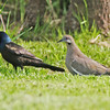 White-winged dove and grackle, Brier Island, May 2010
