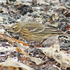 American pipit, Hartlin Pt, 24 Sep 2012