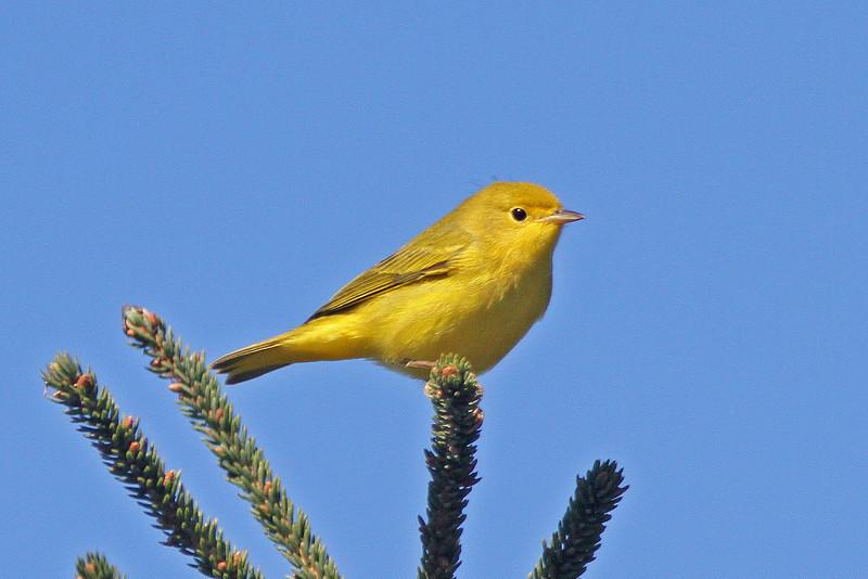 Yellow warbler, Brier Island, Sep 2012