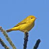Yellow warbler, Brier Island, Sep 2012