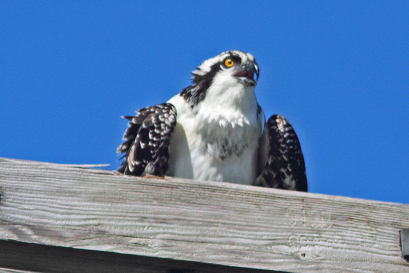 Osprey on power pole near nest at Hartlen Pt