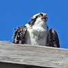Osprey on power pole near nest at Hartlen Pt