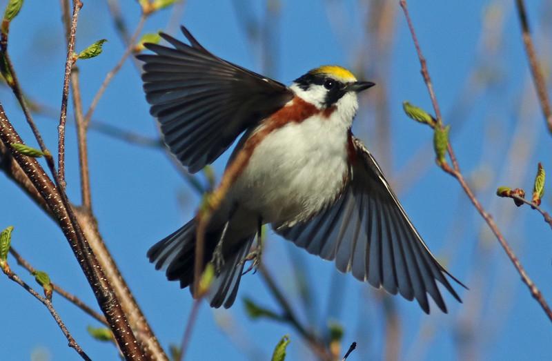 Chestnut-sided warbler taking flight