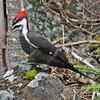Pileated woodpecker in Upper Blandford (Aspotogan pennisula), 2010