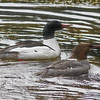 Common mergansers, male and female