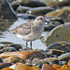 Black-bellied plover, Hartlen Pt, 24 Sep 2012