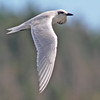 "Gull-billed tern near Grand Desert, Sep 2010, ""Earl"" fallout"