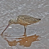 Marbled godwit, Wolfville Harbour, 19 Sep 2012, bill colour modified by mud