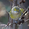 White-eyed vireo on Brier Island, Oct 2012