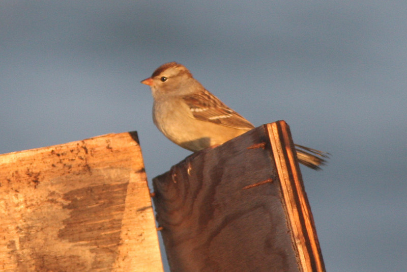 White-crowned sparrow, first winter/juvenile, Seal Island, Sep 2008