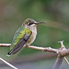 Ruby-throated hummingbird, juvenile
