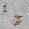 Marbled godwit and greater yellowlegs, Wolfville Harbour, NS, 19 Sep 2012
