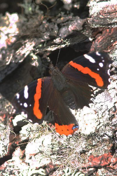 Red admiral buterfly, Seal Island, Sep 2008