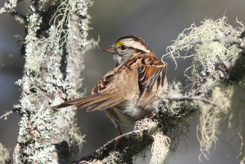 White-throated sparrow, Seal Island, Sep 2008