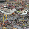 Greater yellowlegs and semipalmated plover