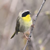 male common yellowthroat (warbler)